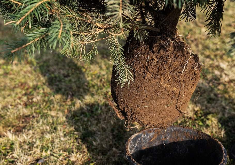 Weihnachtsbaum im Topf: Fichten sind Flachwurzler.
