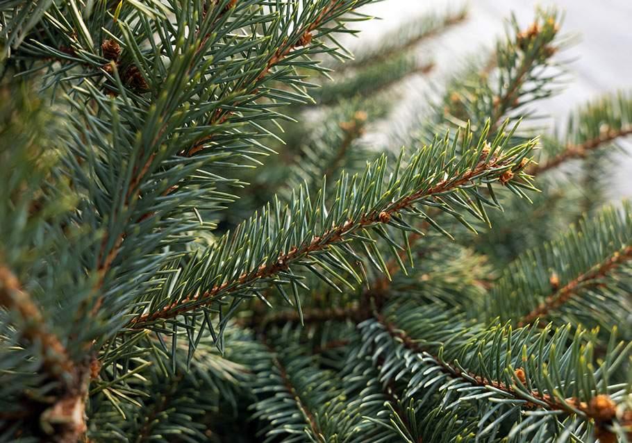 Wimmer Wohnkollektionen: Eine Fichte eigenet sich am besten für einen Weihnachtsbaum im Topf.